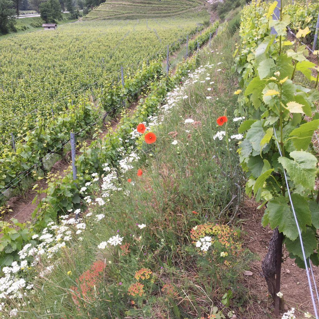 Follatères : vigne, coquelicots et orlayas...