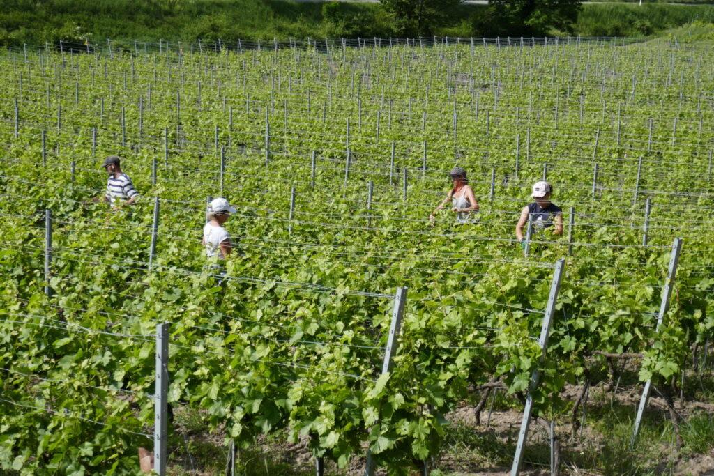 palissage  aux Follatères Benoit Dorsaz vigneron bio biodynamie à Fully, Valais